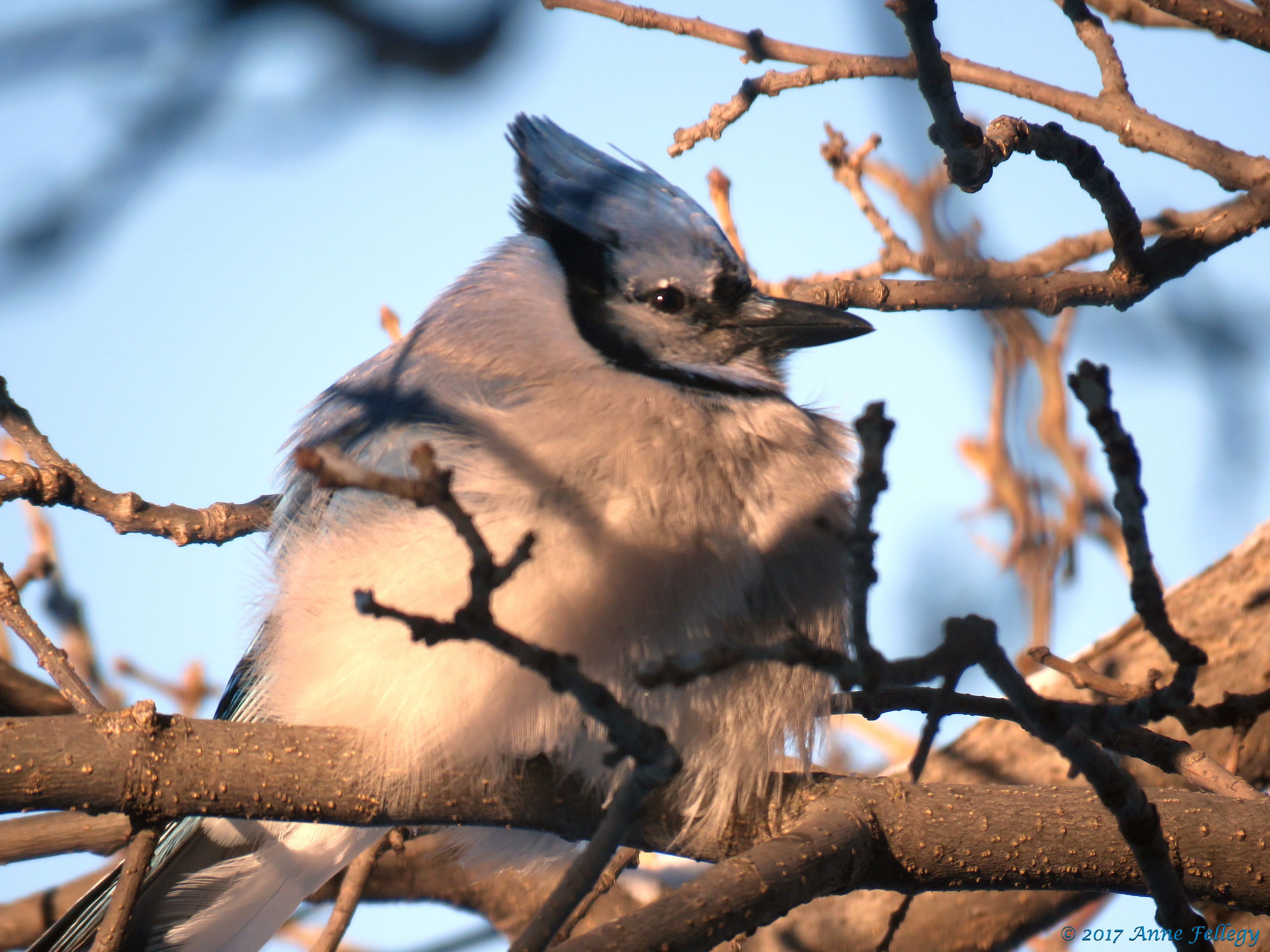 Blue jay symbolism choice image symbol and sign ideas blue jay symbolism annes perspective they also keep the same mate for life which is symbolic buycottarizona